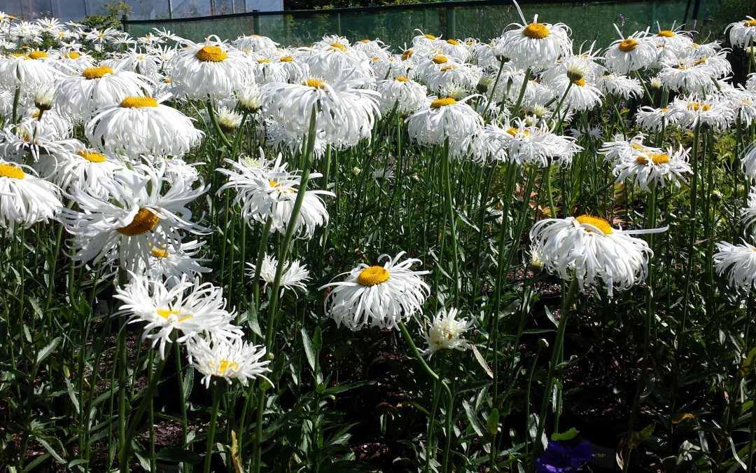 Our Plant of the Week- Leucanthemum x superbum 'Aglaia'