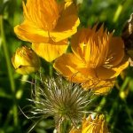 Trollius-chinensis-Golden-Queen