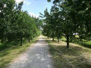 eine Kirschbaum-Allee