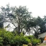 Kroneneinkürzungen Hamburg Kilpatrick Baumpflege Vorher