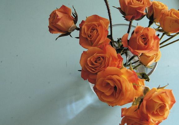 orange roses on light turquoise background