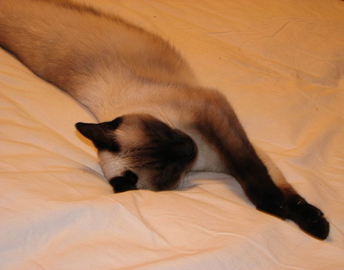 siamese cat napping
