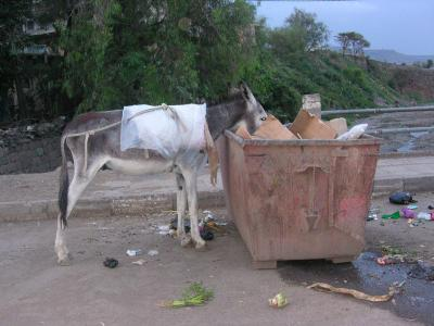 Just a donkey munching on some dumpster goodies.