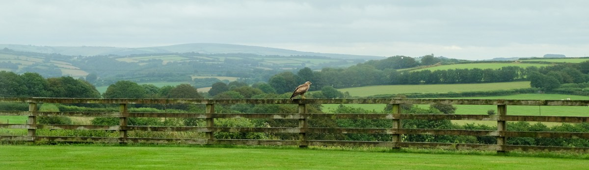 Buzzard overlooking rural North Devon