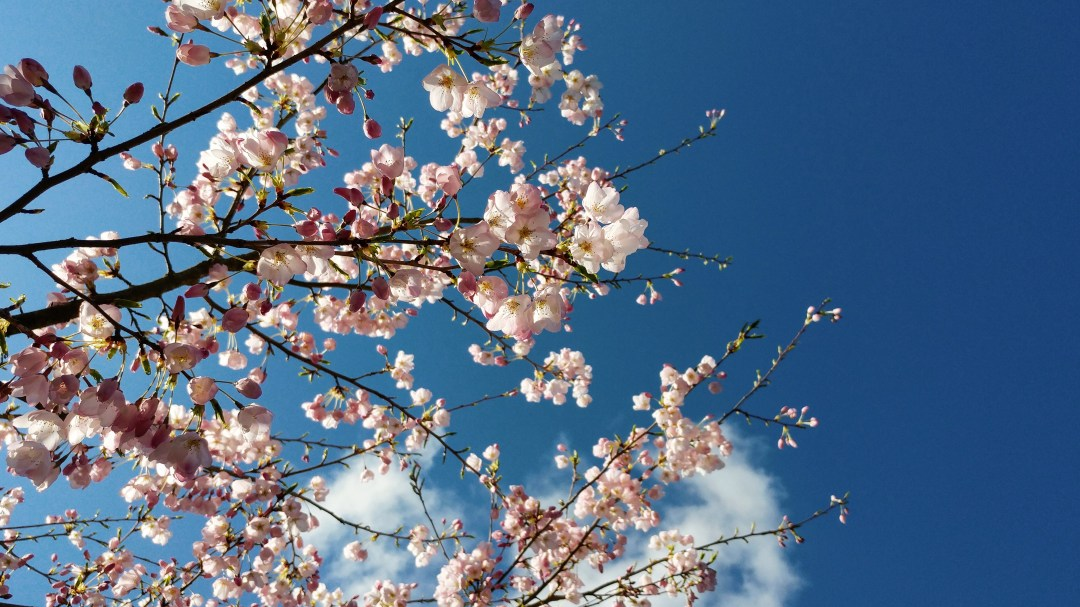 cherry blossoms in spring, Vancouver, BC