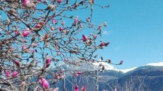 Magnolie vor Bergpanorama