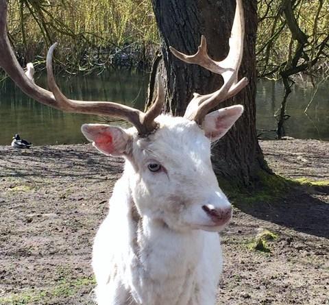 weisser Hirsch - Wildtierpark Schwentinental