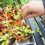 fleischfressende Pflanze - Universe Dänemark - Wissenschafts- und Erlebnispark