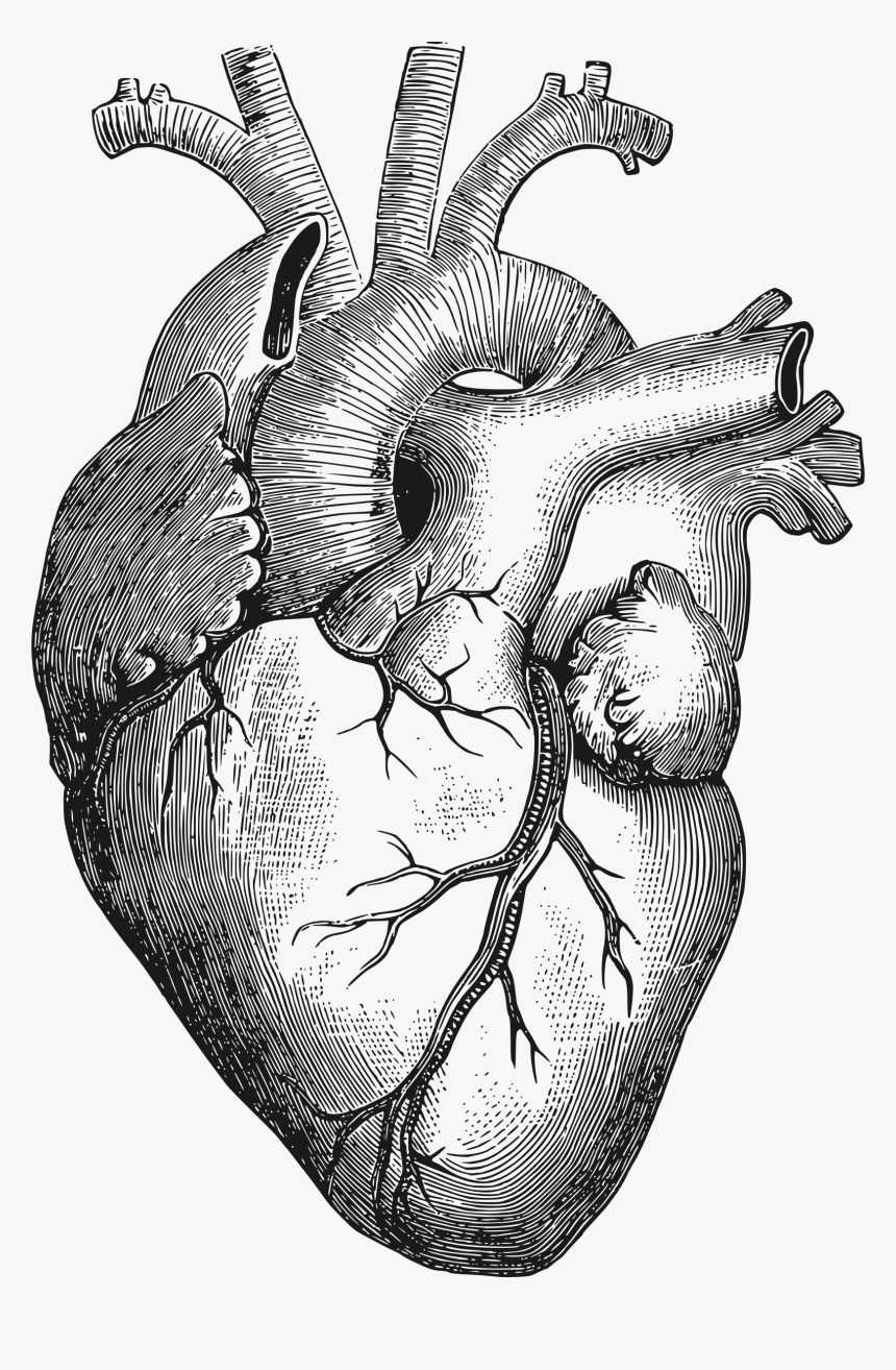 Human Heart Drawing Png Transparent Png Kindpng