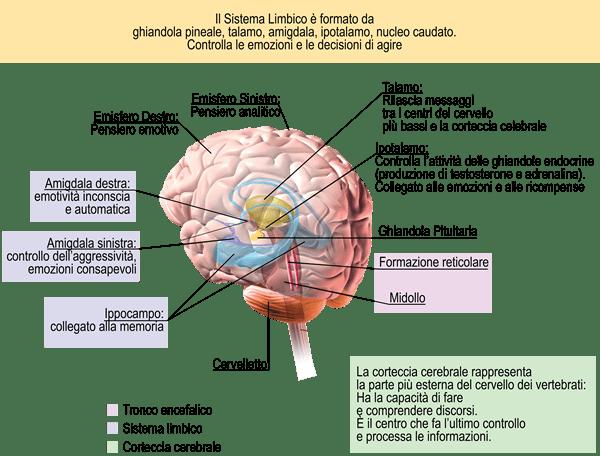 immagine-sistema-limbico
