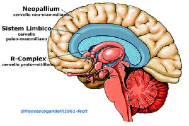 cervello: tripartizione secondo Paul Donald MacLean