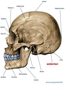 asterion:  dietro l'orecchio, nel punto d'incontro tra l'osso parietale, occipitale e la porzione mastoidea del temporale