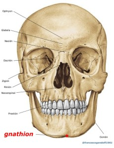 gnathion: il più basso sul piano mediano del margine inferiore della mandibola, al vertice della protuberanza mentoniera