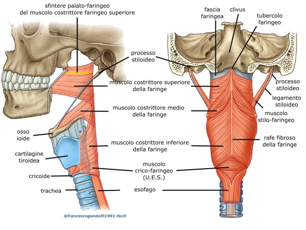 I muscoli costrittori del faringe sono tre: muscolo costrittore superiore, muscolo costrittore medio e muscolo costrittore inferioreche favoriscono la progressione del bolo verso l'esofago, attraverso movimenti simili alla peristalsi: i tre muscolihanno la forma di lamine sovrapposte, in modo che il più basso ricopre in parte la porzione posteriore del muscolo sovrastante; il muscolo costrittore superiore, il più sottile dei tre, con la sua azione restringe la porzione superiore della faringe, iniziando la deglutizione attiva il muscolo costrittore medio restringe la porzione media della faringe favorendo l'inghiottimento mentre il muscolo costrittore inferiore, il più spesso dei tre, che svolge la funzione di sfintere esofageo superiore, si apre per permettere il transito del contenuto endoluminale nell'esofago, verso lo stomaco. Il muscolo costrittore inferioreè costituito da due fasci: il muscolo tiro-faringeo e il muscolo crico-faringeo