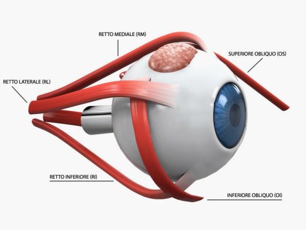 muscoli oculari - esempio di sistema a puleggia