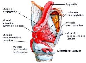 Il muscolo crico-tiroideoè un muscolodi forma triangolare con apice tronco,situato nella parte inferiore della faccia antero-laterale della laringe, la cui parte rastremata origina dall'arcodella cricoidee, dividendosi in un fascio mediale-verticale (parte retta) ed un fascio laterale-obliquo (parte obliqua), si inserisce al margine inferiore dellacartilagine tiroidea:quando utilizza come punto fisso la cartilagine tiroidea, spinge in dietro la cartilagine cricoidea e le cartilagini aritenoidi mentre se prende punto fisso sulla cartilagine cricoide, porta in basso e in avanti la cartilagine tiroide; in entrambi i casi tende i legamenti vocali ed è perciò denominato anche muscolo tensore delle corde vocali.