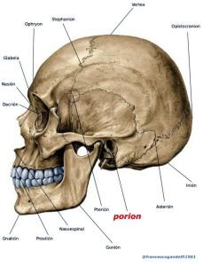 porion: margine superiore del meato uditivo esterno, dove questo viene tagliato dalla linea verticale condotta dal centro del foro uditivo