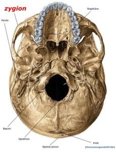 zygion: punto corrispondente alla massima prominenza laterale delle arcate zigomatiche.