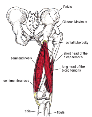 Proximal Hamstring Tendinopathy Anatomy