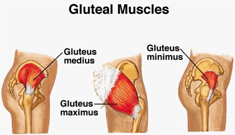Gluteal Muscles Diagram