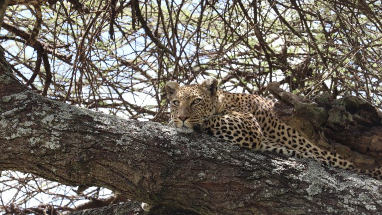 Cheetah on a tree - King lion Tours And Safaris