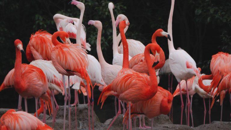 Flamingos - Safari Kenya