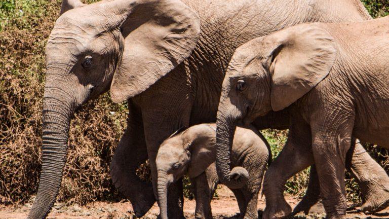 Elephant Herd - Safari Kenya