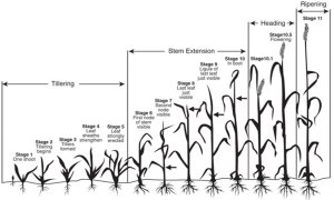 Small Grain Growth Stages and Harvest  King's AgriSeeds