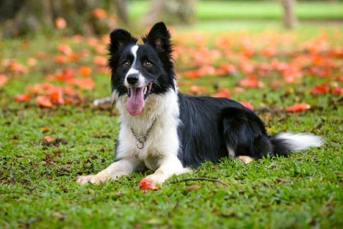 dogs Border Collie