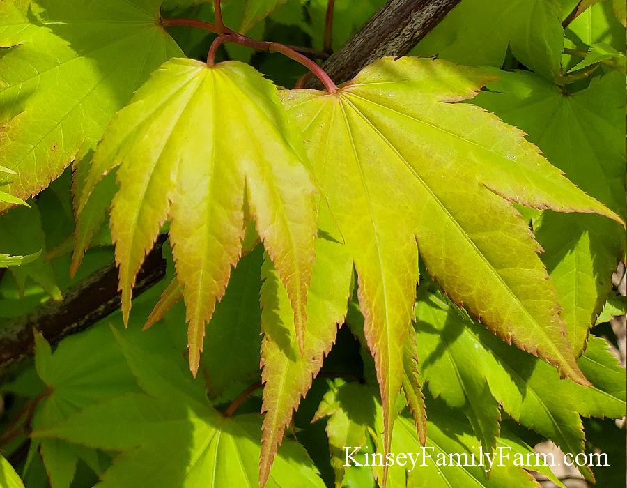 Japanese Maple Trees For Sale Georgia Kinsey Family Farm