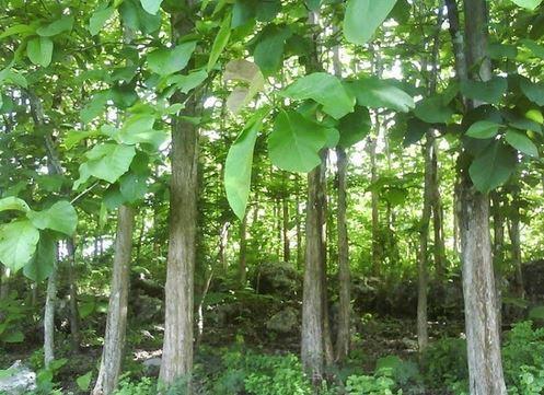 pohon jati