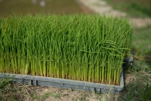 sowing rice in chiba