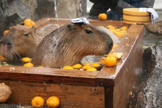 kapibara4