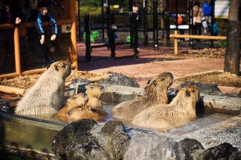 kapibara5