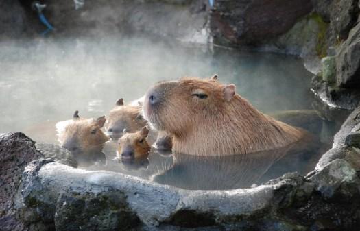 kapibara6