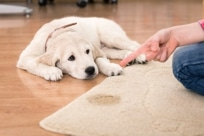 Get the best carpet cleaner spray for pet stains