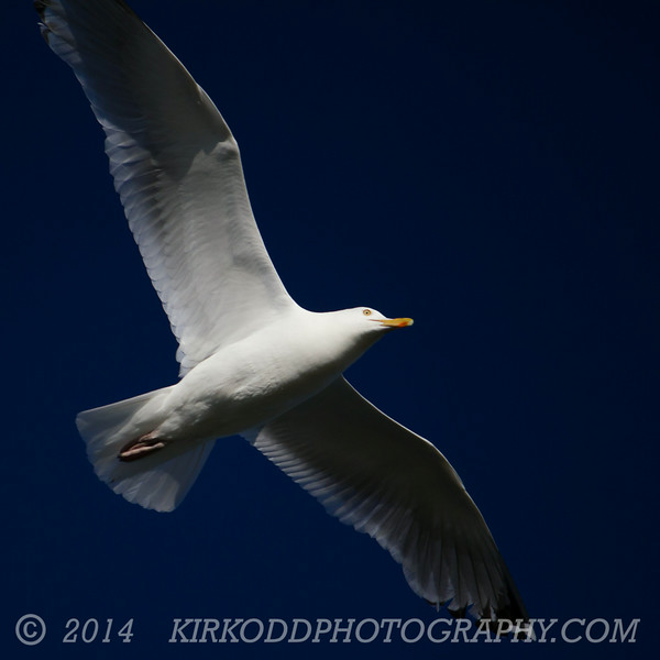 Seagull in Blue Sky with Under-Lighting