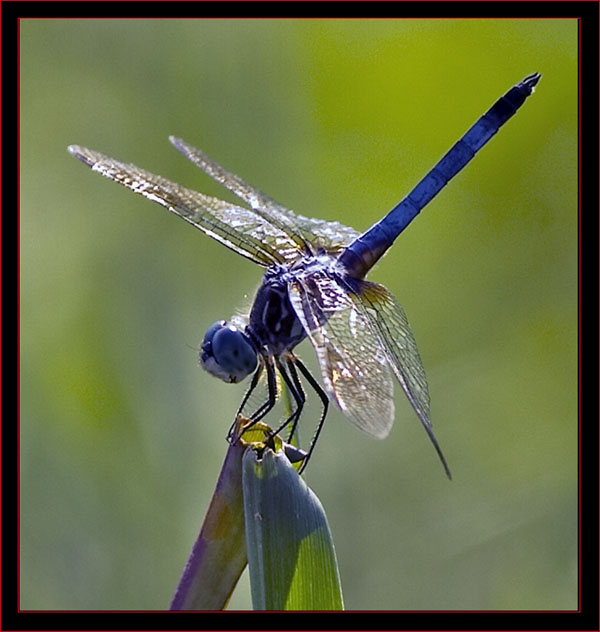 Image result for dragonfly labeled