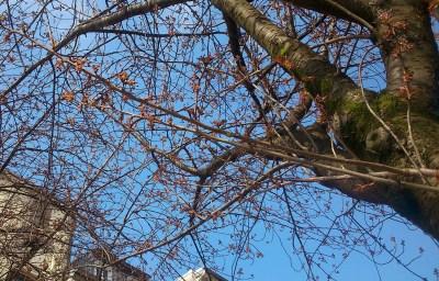 kirschblütenliveticker 8.4.15