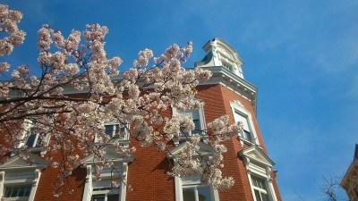 weisse kirschblüten 07.4.2015