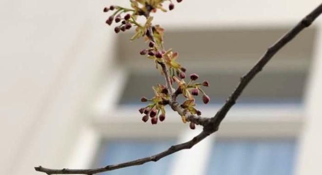 kirschblütenliveticker-6.4.16-kibo-bonn