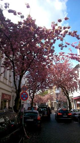Kirschblütenliveticker-Sonntag-24.4.16