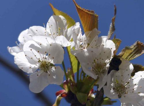 140-2015-Wett-B.Gorhotl-Kirschblüte weiss 2-1v3
