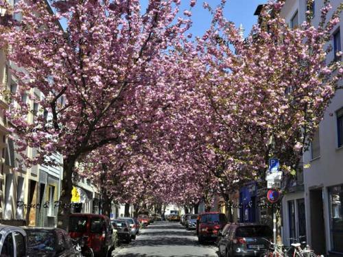 Bonn-Kirschblüte-6722