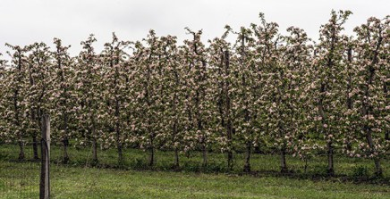 Apfelbaume