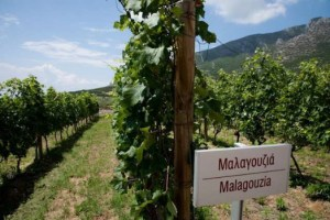 greekvineyard-malagouziarow