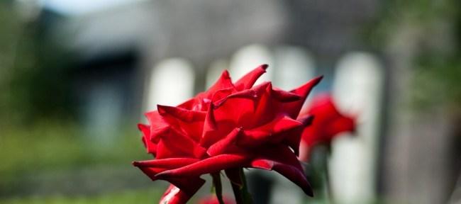 [Photolog] 2011年10月 旧古河庭園の薔薇