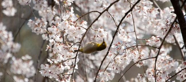 [Photolog] 2012年4月 京都の枝垂桜