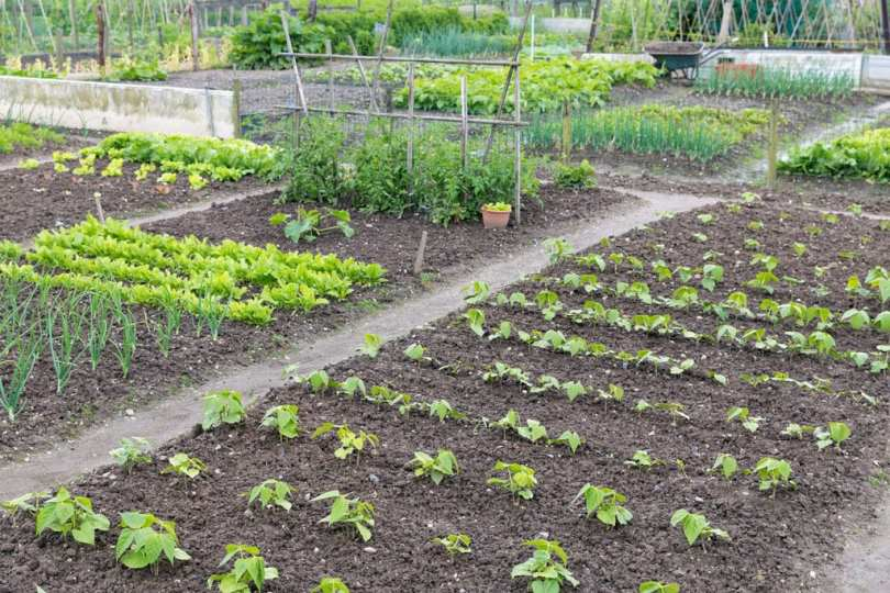 A wide shot of an allotment covered with sprouting plants.