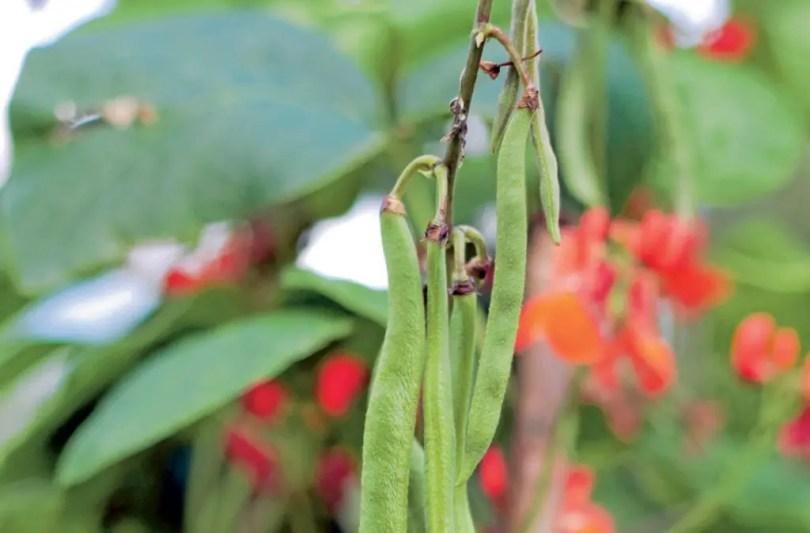 Runner Beans still on it's plant.